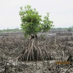 Bodocreeks red mangrove